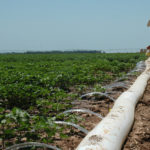 Moisture levels a concern for some cotton producers