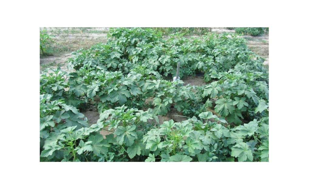 Intercropping boosts vegetable production