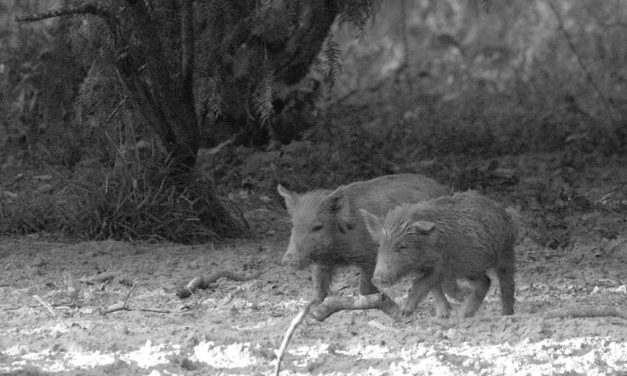 Woods, Waters, & Wildlife – Wild About Hogs