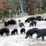 War on Hogs Declared by Wortham PD